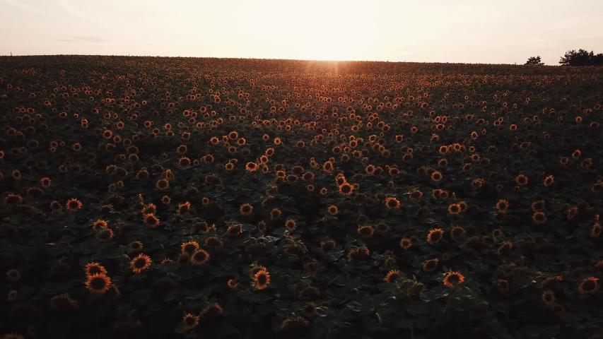 Aerial  view of sunflowers field at sunset.  Drone shot,bird's eye. 4K