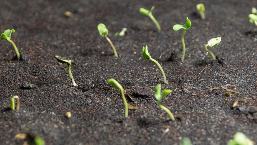 Flax Seeds Plant Growing Time Lapse | Shutterstock HD Video #1053511724