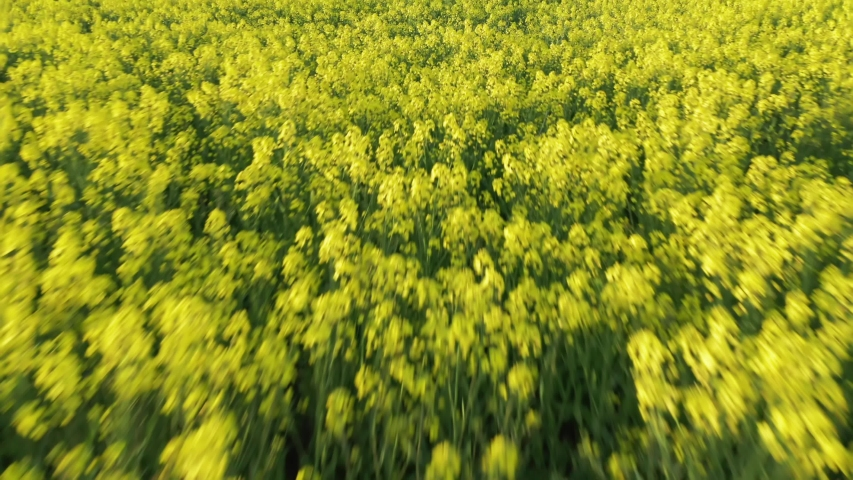 Fast moving motion blur drone shot of Canola flowers large yellow agriculture rapeseed field in bloom. Beautiful colorful plant low angle aerial view tilting up revealing forest in background. Summer