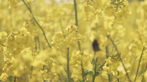 Defocused to focused shot of a hardworker bee attached on a yellow flower in a canola field