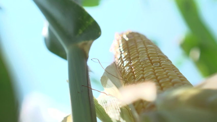 Yellow corn cob with many seeds | Shutterstock HD Video #1053532019