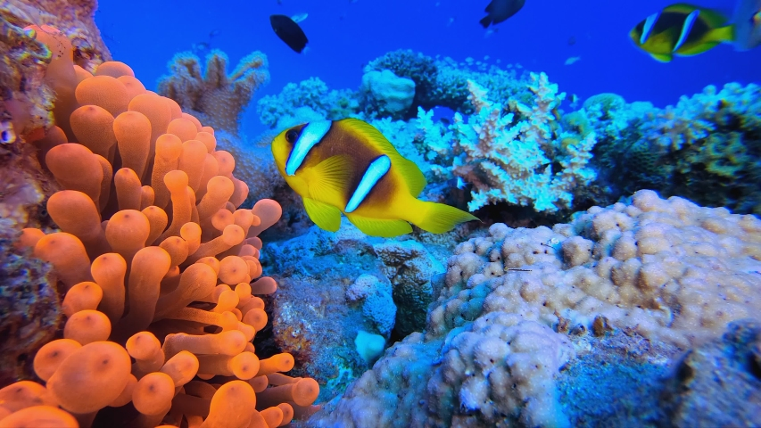 Colorful Garden Red Anemone. Underwater tropical clownfish (Amphiprion bicinctus) and sea anemones. Red Sea anemones. Tropical colorful underwater clown fish. Reef coral scene. Coral garden seascape.