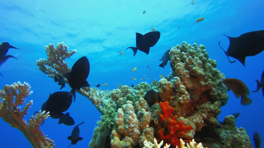 Coral Reef Fish Scene. Tropical underwater sea fish. Underwater fish reef marine. Underwater sea fish. Coral garden seascape. Reef coral scene. Blue water background. Blue turquoise sea water waves. | Shutterstock HD Video #1053568751