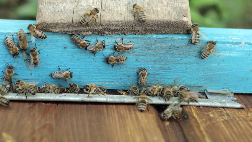 Bee honeycomb, Plank with honeycomb from the hive. Honey bee. Honey bees on the home apiary   Shutterstock HD Video #1053570593