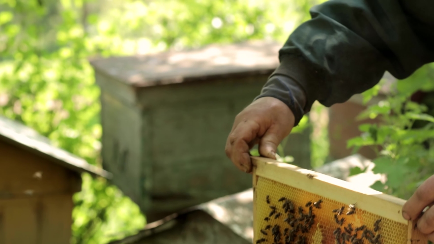 The beekeeper holds a honey frame with bees in hands. Beekeeper at work, removing excess honeycombs. Royalty-Free Stock Footage #1053570596