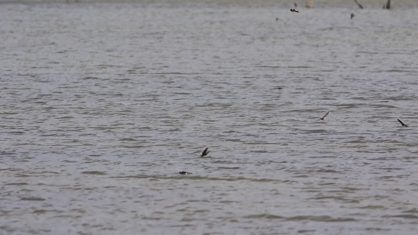 Swallows hunting on a lake   Shutterstock HD Video #1053574157