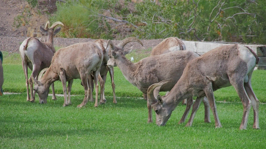 Close up shot of many Bighorn sheep eating grass in Hemenway Park at Boulder City, Nevada | Shutterstock HD Video #1053579782