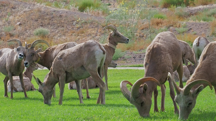 Close up shot of many Bighorn sheep eating grass in Hemenway Park at Boulder City, Nevada | Shutterstock HD Video #1053579788