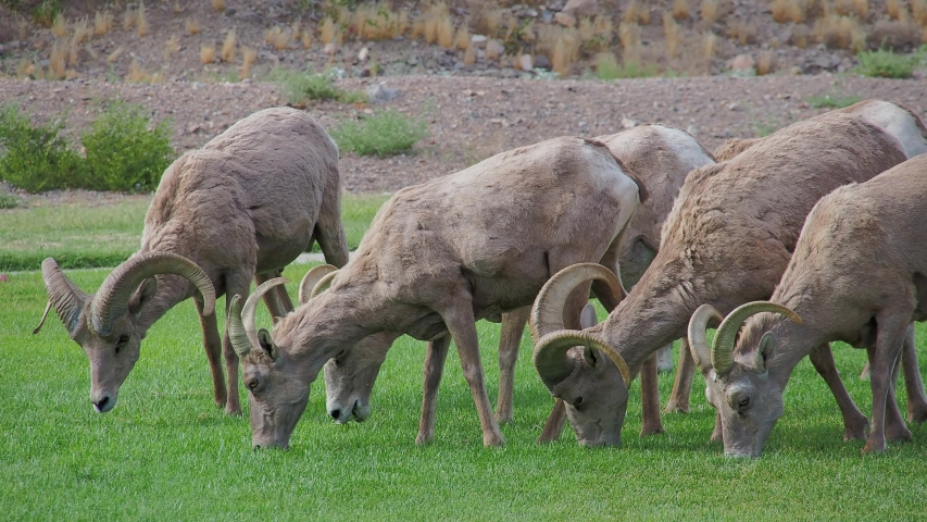 Close up shot of many Bighorn sheep eating grass in Hemenway Park at Boulder City, Nevada | Shutterstock HD Video #1053579791