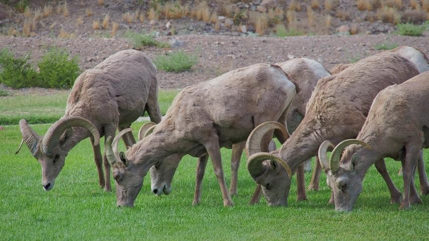 Close up shot of many Bighorn sheep eating grass in Hemenway Park at Boulder City, Nevada | Shutterstock HD Video #1053579791
