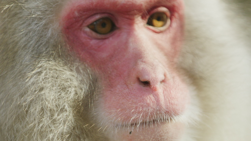 Extreme close up slow motion shot of snow monkey foraging by a hot spring in Nagano, Japan. | Shutterstock HD Video #1053623408