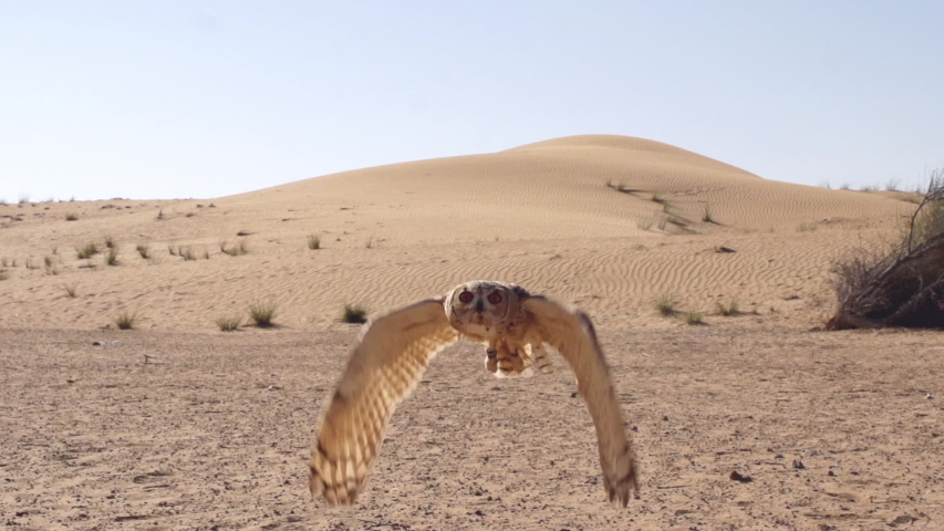 Incredible Desert Owl Flight looking straight into the lens closeup. Flying towards the camera in slow motion.