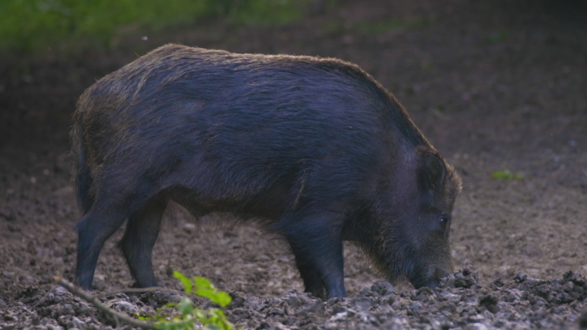 A large wild boar in a natural environment looking for food.