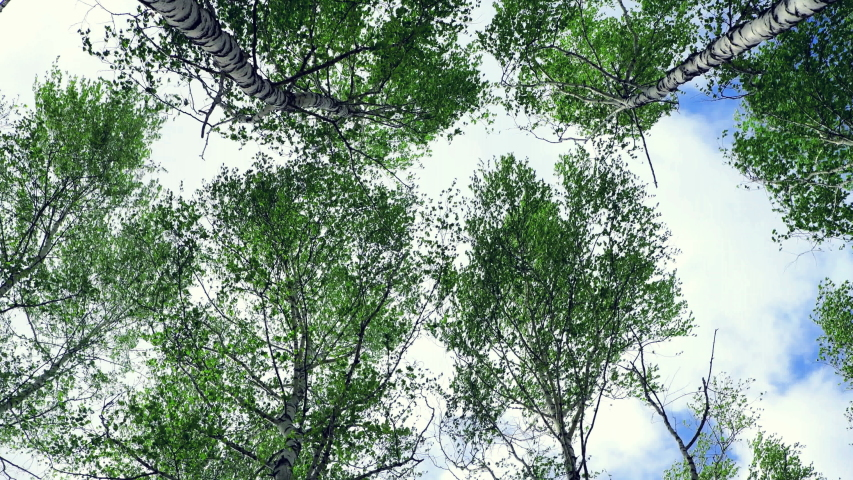 Tops of birches with green leaves sway from a strong wind. Trees against the sky, bottom view. Hurricane wind in a grove, bad weather. 4K video. Royalty-Free Stock Footage #1053675722