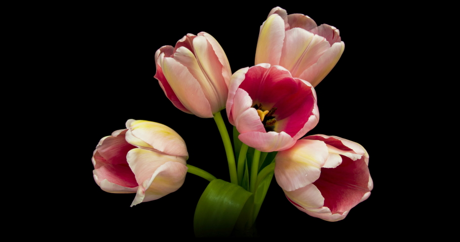 Tulips. Timelapse of bright pink tulips flower blooming on black background. Close-up of a bouquet of beautiful pink tulips. 4K   Shutterstock HD Video #1053680666