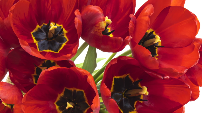 Beautiful red tulip flowers background. Beautiful bouquet of Red tulips on a white background. Timelapse of red tulip flowers opening. Springtime. Holiday. Celebration, Love, birthday.   Shutterstock HD Video #1053680669