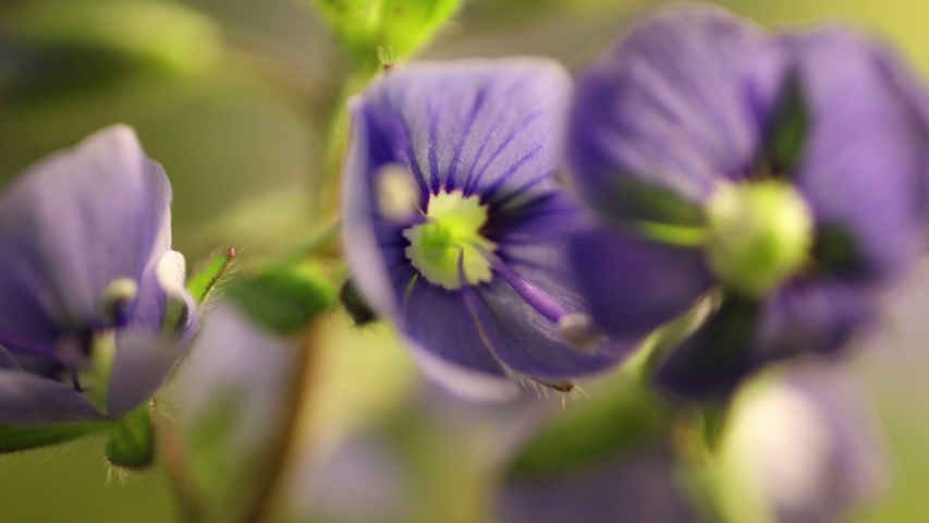 Blue flowers blooming, opening its blossom, spring time lapse, extreme close up Veronica chamaedrys   Shutterstock HD Video #1053683855