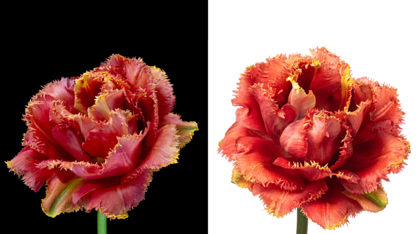Collage of two simultaneously blooming beautiful colorful Tulip flowers on a black and white background. Timelapse of two bright, yellow and red striped tulip flowers opening. 4K   Shutterstock HD Video #1053685574