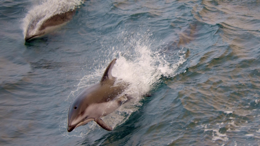 Pacific white-sided dolphins playing in waves | Shutterstock HD Video #1053703874