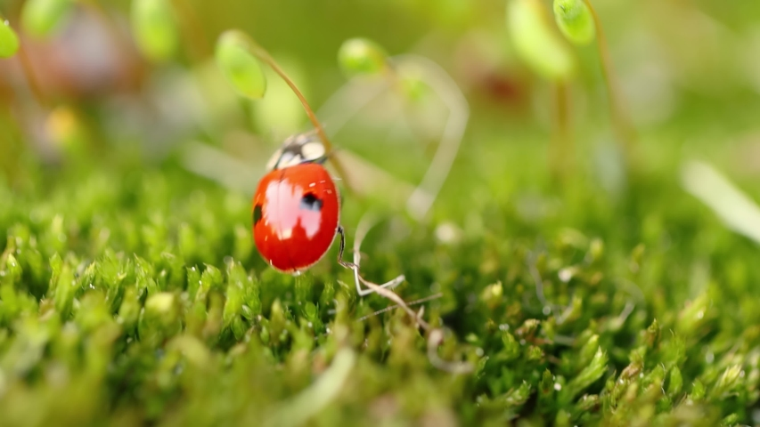 Close-up wildlife of a ladybug in the green grass in the forest. Macrocosm in the wild. Coccinella septempunctata, the seven-spot ladybird, is the most common ladybird in Europe. | Shutterstock HD Video #1053712748
