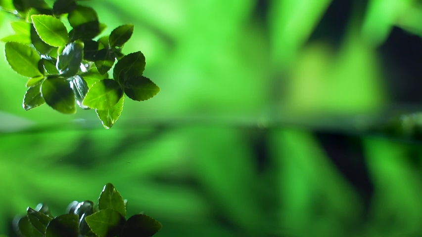 Close up. fresh green leaf with rain water drop over the water , nature leaf branch scene for relaxation with ripple drops concept , slow motion shot. Green background. Copy space for text