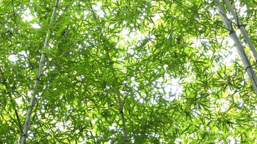 Bamboo forest in Arashiyama area, Kyoto, Japan   Shutterstock HD Video #1053722903