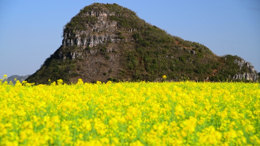 Out of focus (blur) canola flower field in spring, Luoping County, China   Shutterstock HD Video #1053722927