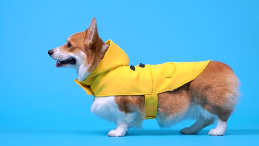 Cute welsh corgi pembroke or cardigan dog in yellow raincoat stands in profile on blue background and runs away. Pet prepared for walk in cold rainy weather