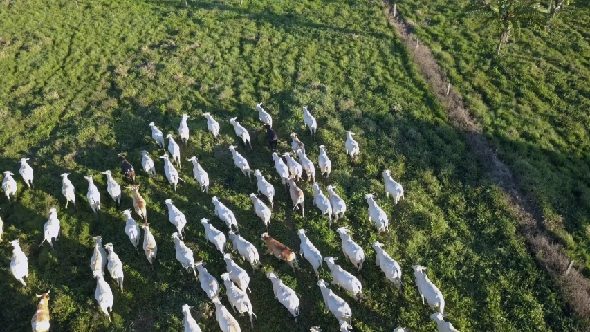 Aerial drone view of cattle grazing on farm pasture in the Amazon rainforest. Xapuri, Acre, Brazil. Concept of ecology, deforestation, environment, nature, agriculture, co2 footprint, global warming. | Shutterstock HD Video #1053735128
