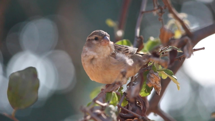 African house sparrow (Passer domesticus) perched on a tree branch in Mozambique   Shutterstock HD Video #1053749513
