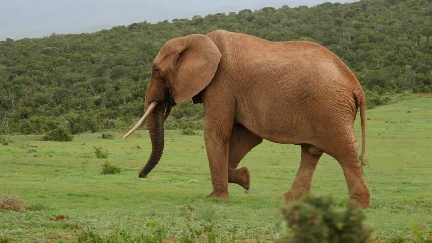 Big brown African elephant walking across green grass, tracking shot, full body view   Shutterstock HD Video #1053772547