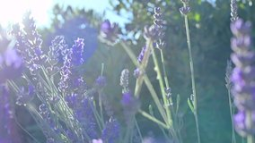 Stock video Lavender field in Provence, France. Blooming Violet fragrant lavender flowers. Growing Lavender swaying on wind over sunset sky, harvest. Sun glare and bokeh.  Close Up. SLOW MOTION