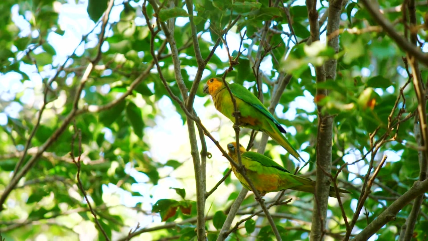 Pair of Beautiful Brown-throated Parakeets Sitting On The Branches Of A Tree With Green Foliage In Curacao. - low angle shot | Shutterstock HD Video #1053775967