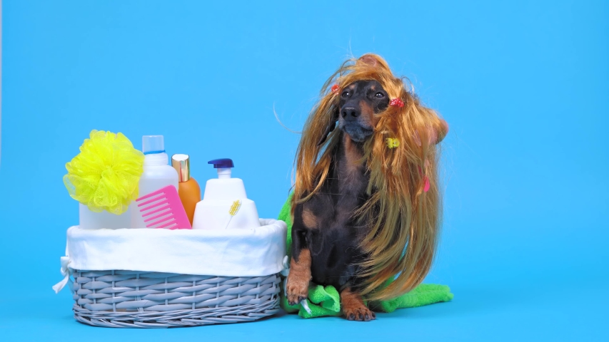 Funny dachshund dog in red wig with multi colored hair clips, wrapped in bath towel is about to take shower. Basket with washcloth, comb, soap, gel and shampoo bottles is nearby on blue background | Shutterstock HD Video #1053777854