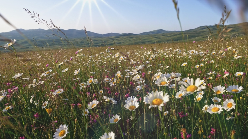 White daisy flowers field meadows. Walking through summer meadow, field of flowers, enjoying daisies, lupins and other wildflowers waving in the wind. Steadicam shot, 4K