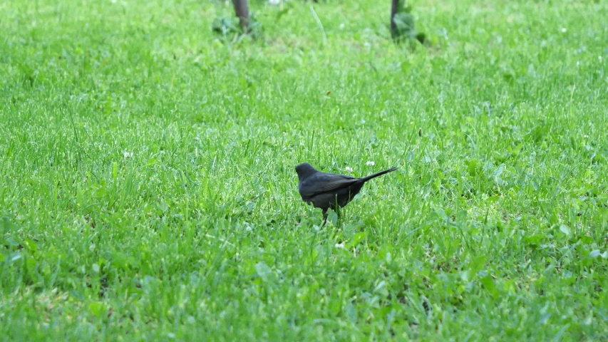 Common blackbird eating worms  (Turdus merula)