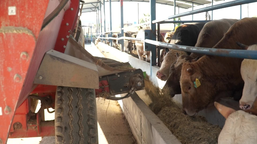Tractor Unloads the Hay to the Cow to Eat, Dairy Animal farm, Agriculture, Close Up. animal breeding