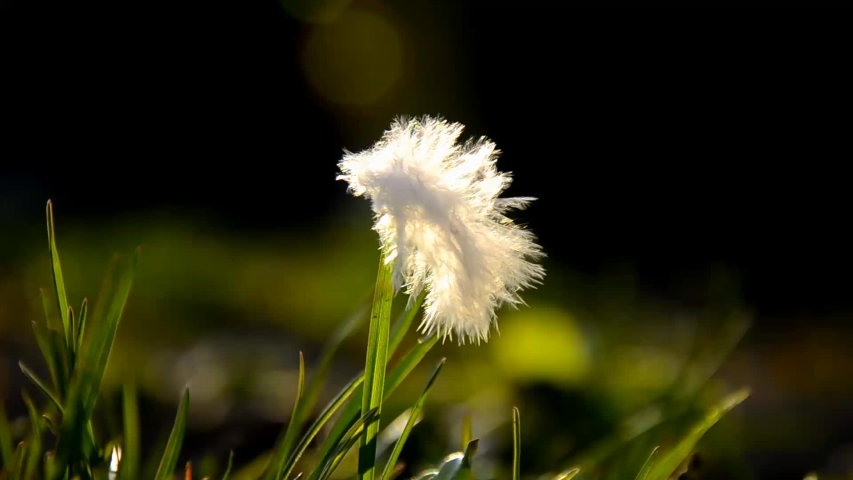 Close up of white feathers, on green grass in the field in the wind. the bird's down in the rays of the evening sun on a dark green background