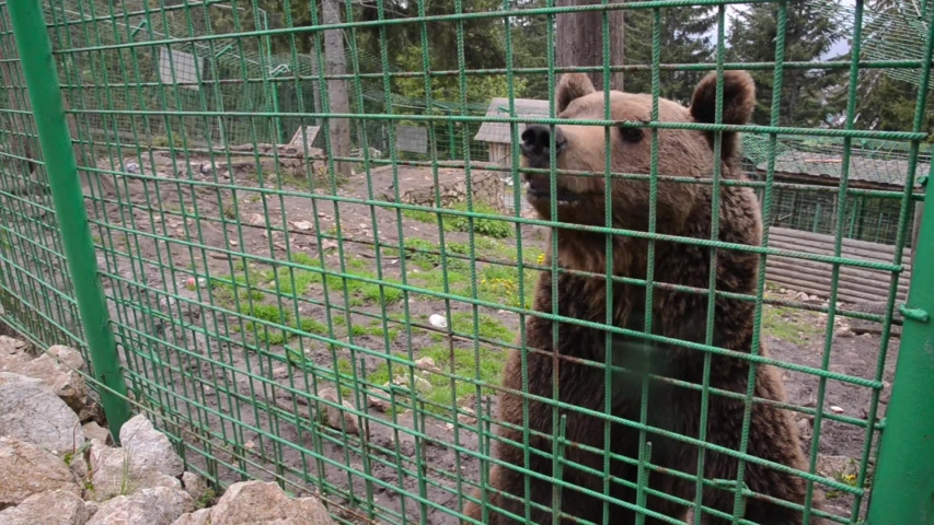 Poor brown bear living in steel cage and behind the bars at the zoo. Sad bear behind fence in prison.  Animals in captivity. Concept of wildlife, freedom, animal rights, sadness and cruelty | Shutterstock HD Video #1053798578