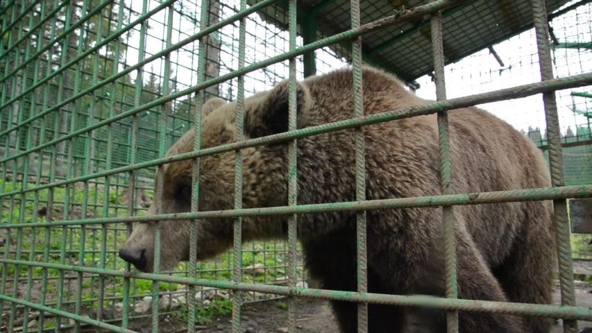 Poor brown bear living in steel cage and behind the bars at the zoo. Sad bear behind fence in prison.  Animals in captivity. Concept of wildlife, freedom, animal rights, sadness and cruelty | Shutterstock HD Video #1053798581