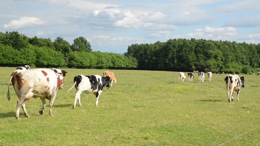 Cows grazing fresh green grass on the field. Farm. Animals graze on a meadow. Cows on pasture. Herd of Dairy cattle in countryside. Farmland in countryside. Milk and meat industry. Holstein cow.Breed