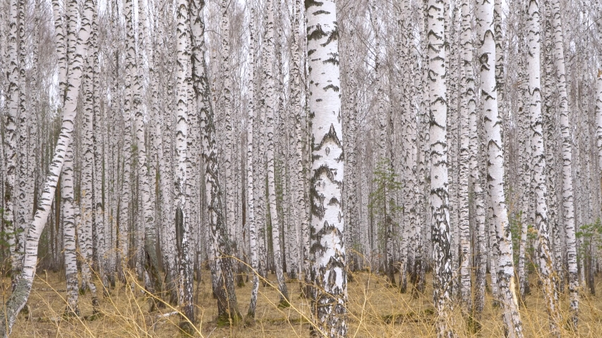Admirable birch grove by diffused daylight in spring time Royalty-Free Stock Footage #1053803630