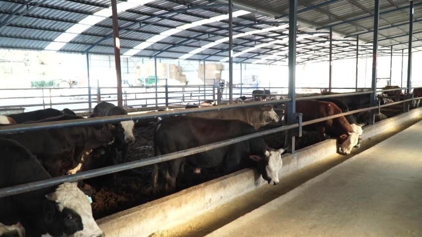 Modern farm barn with milking cows eating hay/Cows feeding on dairy farm/Cows in cowshed/Calf feeding on farm/Livestock farm/Agriculture industry/Milk farm