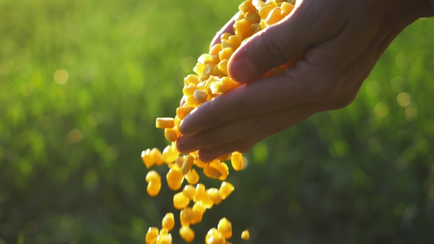 corn seed in farmer hands, agriculture. farmer holding maize harvest, green background. cereal plant grown for its grain, maize field, corn harvest, Agriculture corn farm harvest. Golden corn growing Royalty-Free Stock Footage #1053842432