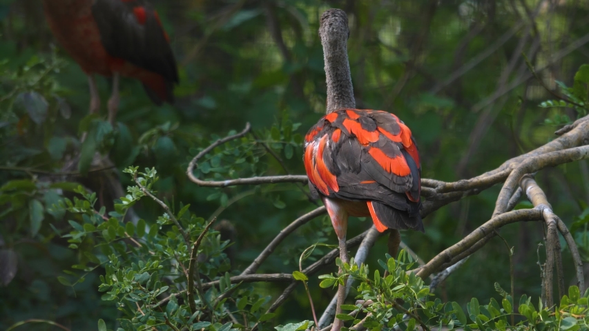Close up of scarlet Ibis sitting on a branch