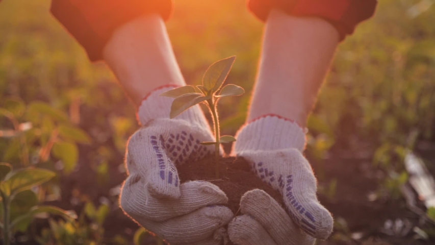 Farmer working in field in morning, hand holding leaf of cultivated plant. Hands holding pile of arable soil. Agriculture, gardening or ecology concept.   Shutterstock HD Video #1053934571