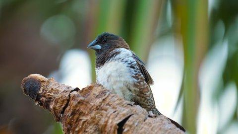 Tiny Bronze Mannikin bird sits atop branch in urban garden, looks around quickly for danger