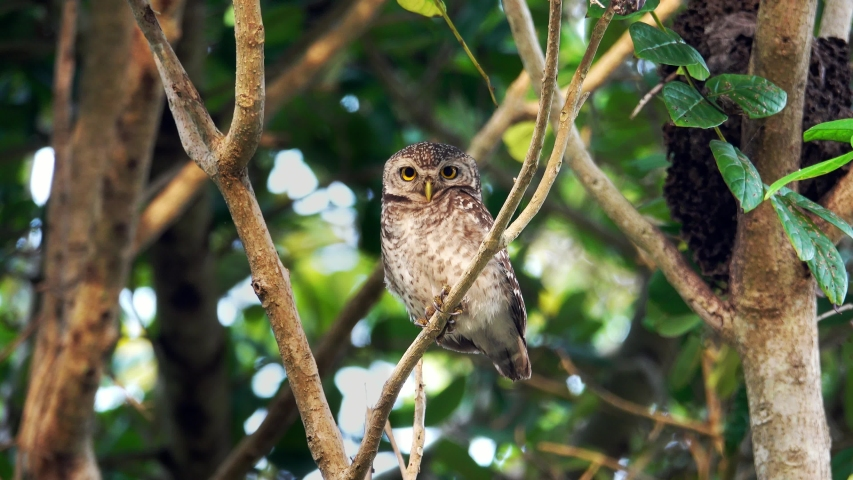 Cute owl with big eyes perching on branch turning head around looking at camera in the morning hour ,4K zoom in video. Beautiful spotted owl living in peaceful forest. | Shutterstock HD Video #1053940610