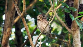 Cute owl with big eyes perching on branch turning head around looking at camera in the morning hour ,4K zoom in video. Beautiful spotted owl living in peaceful forest.