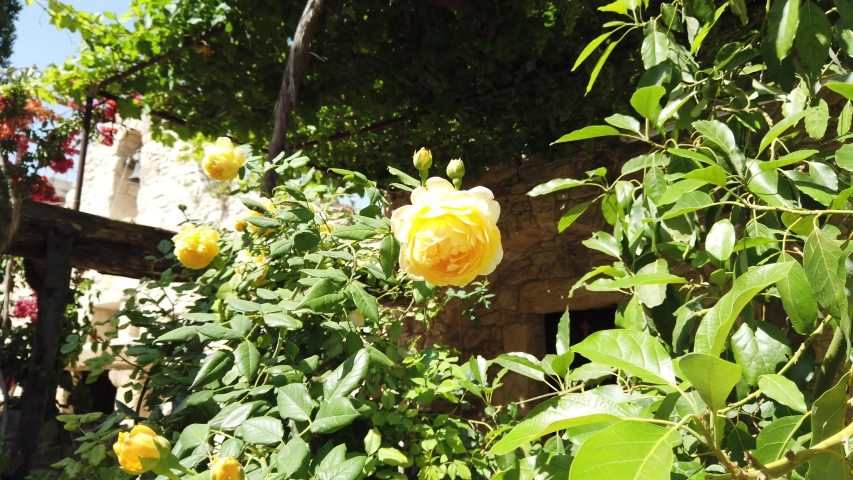 Courtyard garden with yellow rose bush in the Monastery on a sunny day